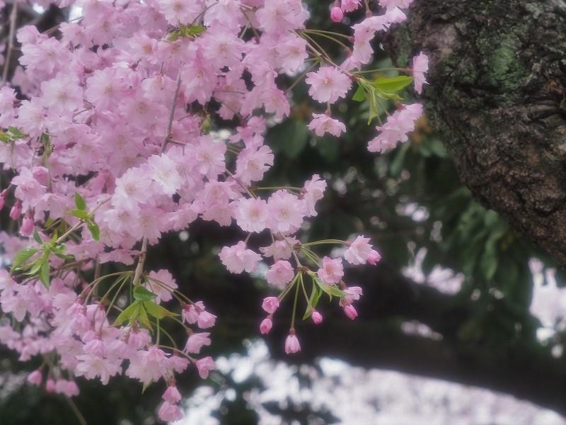 西川緑道公園の桜14