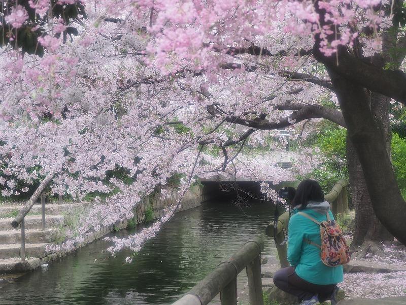 西川緑道公園の桜13