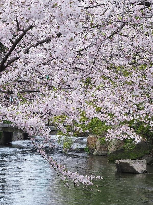 西川緑道公園の桜10t