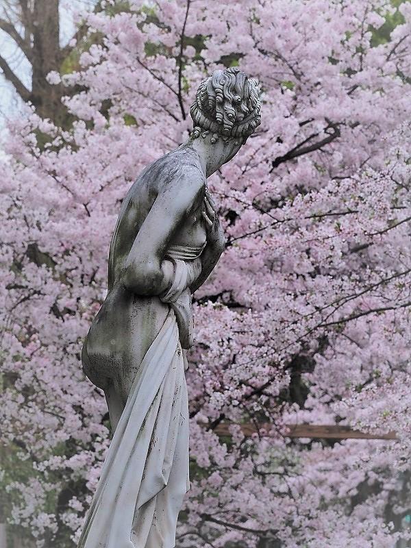 西川緑道公園の桜6t