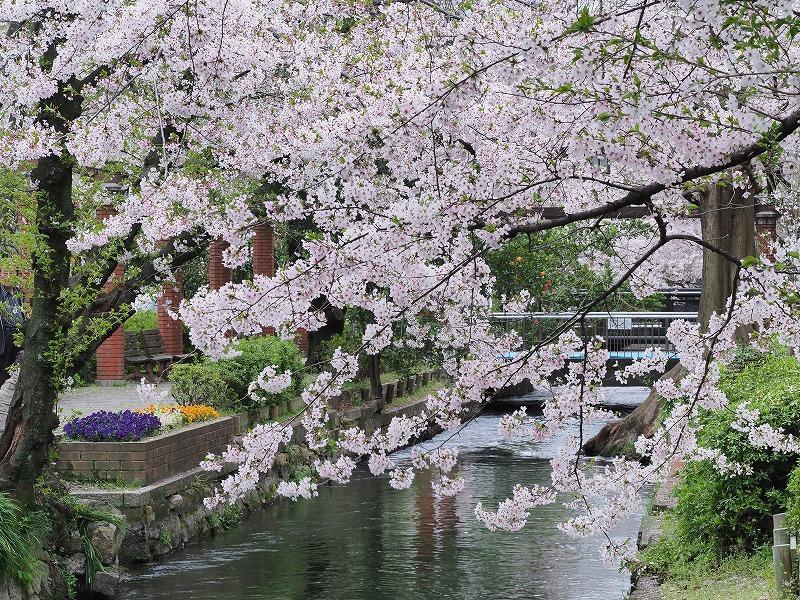 西川緑道公園の桜3