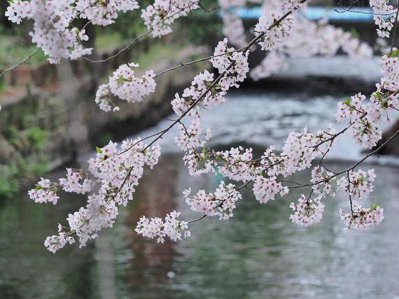 西川緑道公園の桜4
