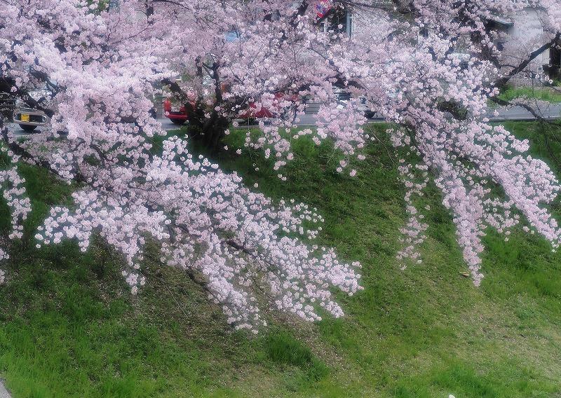 旭川さくら道の桜2