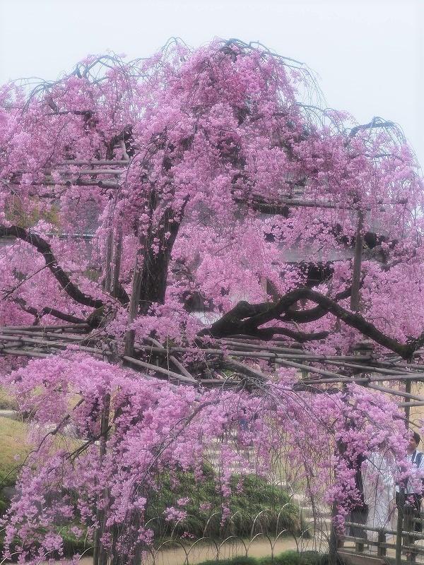 枝垂れ桜4t