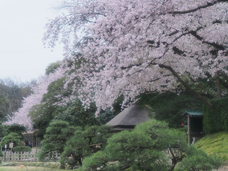 後楽園の桜4