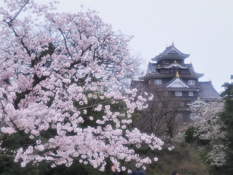 後楽園の桜11
