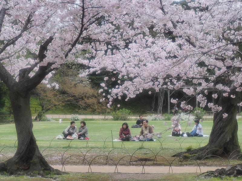 後楽園の桜16