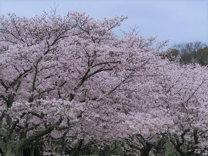 後楽園の桜21