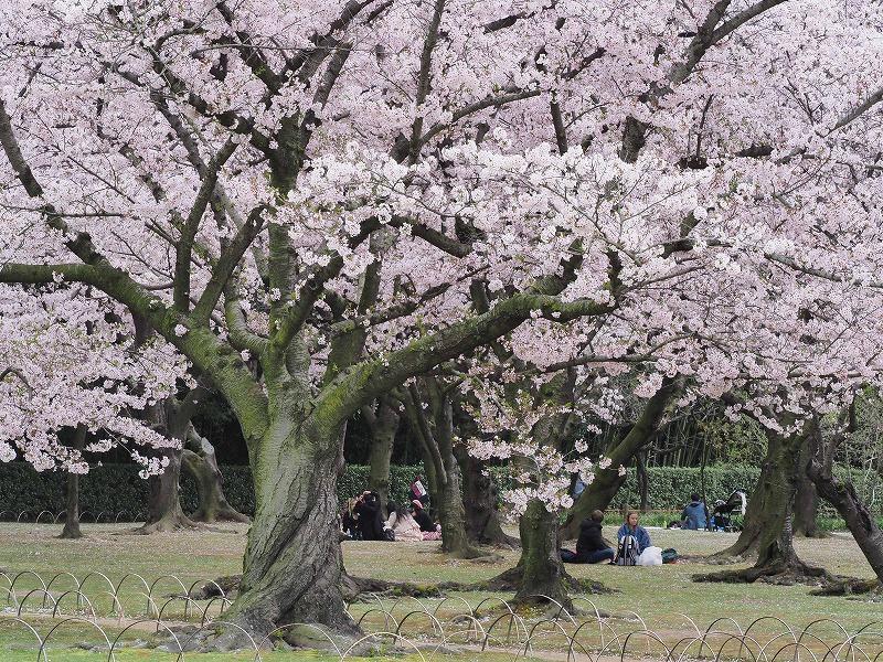 後楽園の桜22