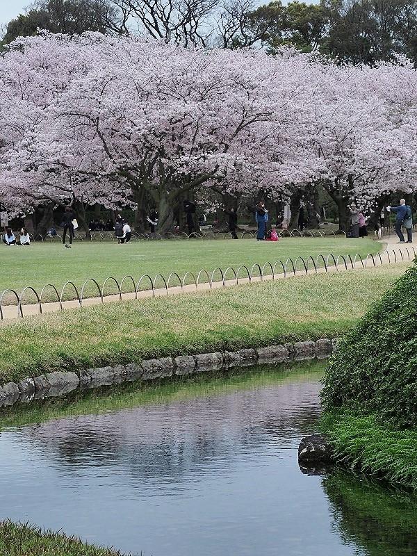 後楽園の桜24t