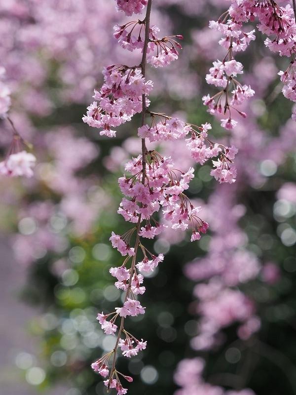 たけべの森の枝垂れ桜14t