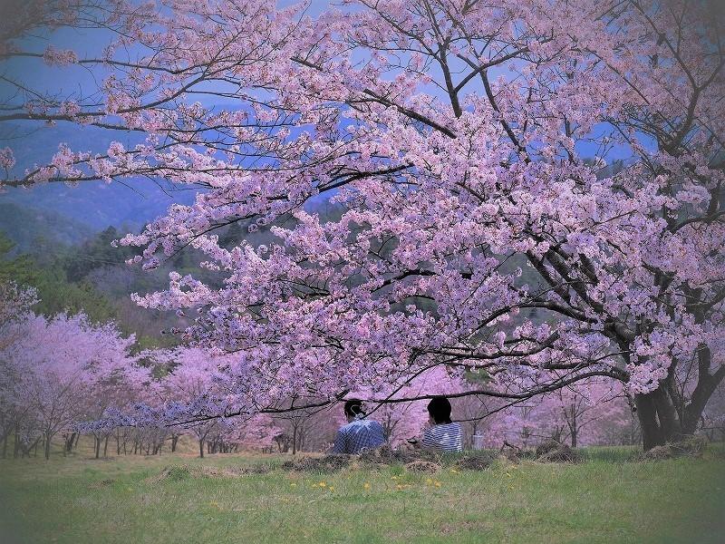たけべの森の枝垂れ桜9
