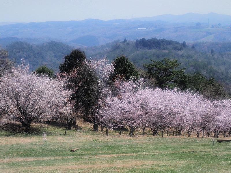 たけべの森の枝垂れ桜11