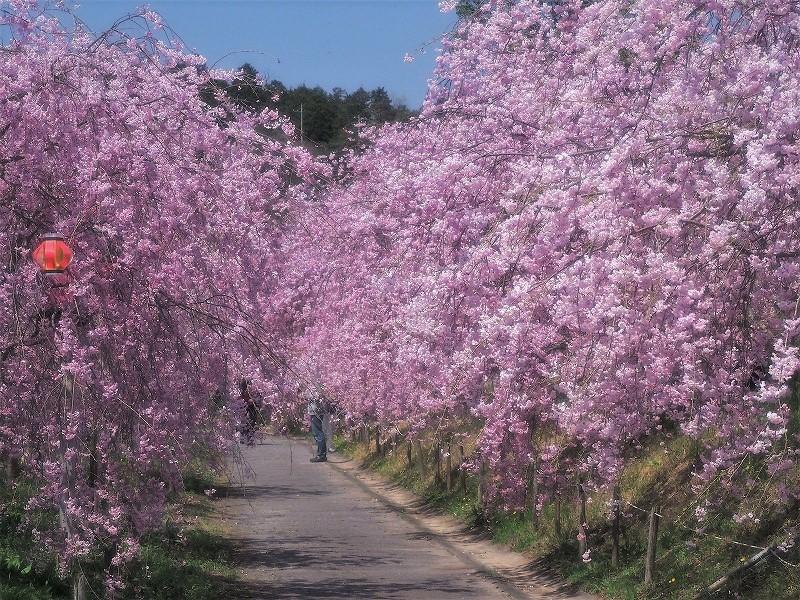 たけべの森の枝垂れ桜12
