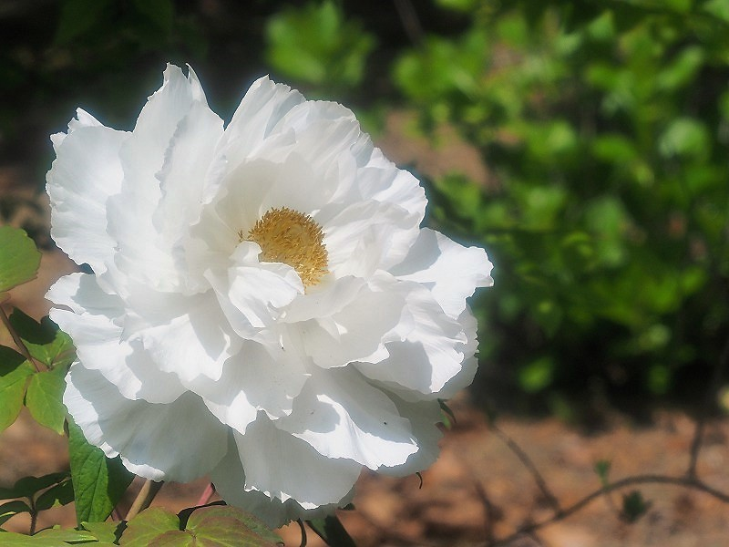 バラ園の牡丹3(白王獅子)