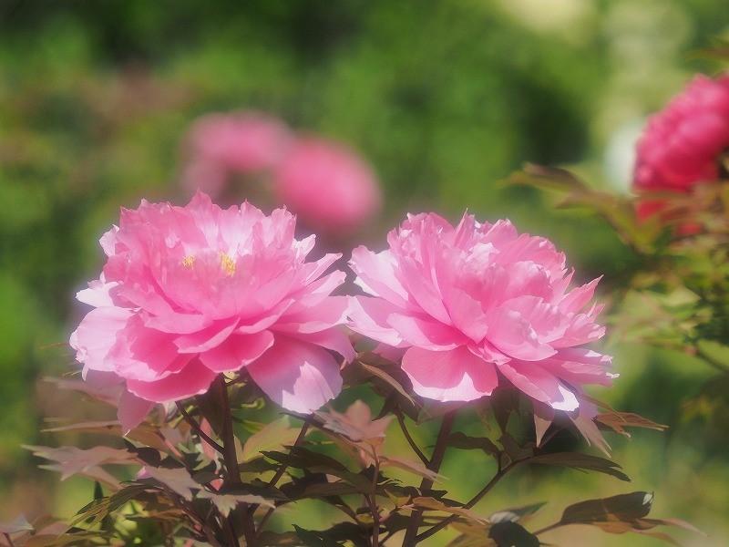 バラ園の牡丹5