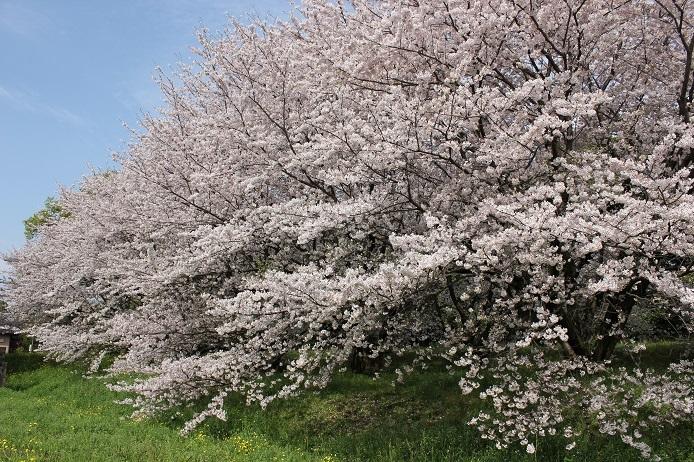 2017.4 桜6
