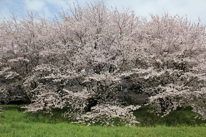 2017.4 桜5
