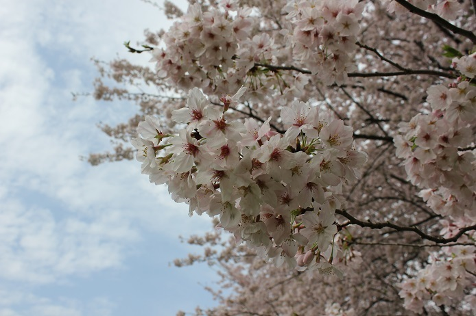 2017.4 桜3