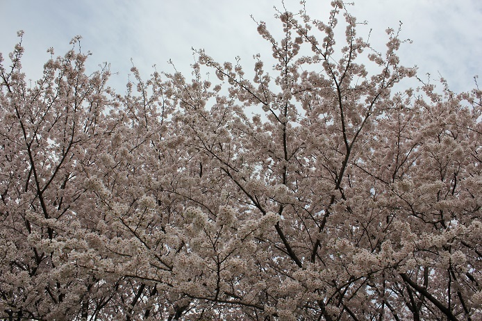 2017.4 桜2