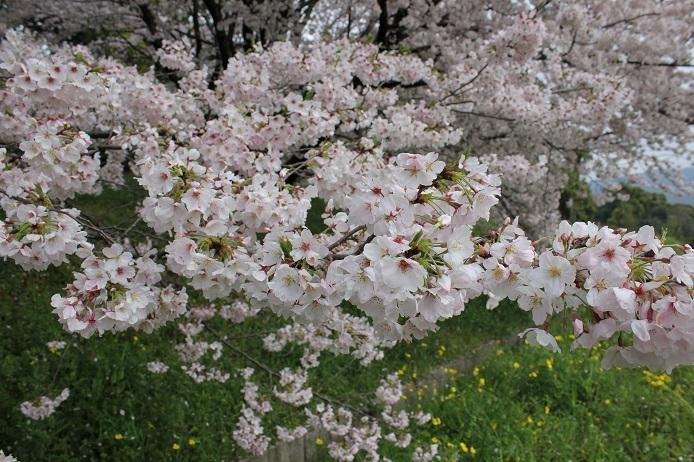 2017.4 桜1