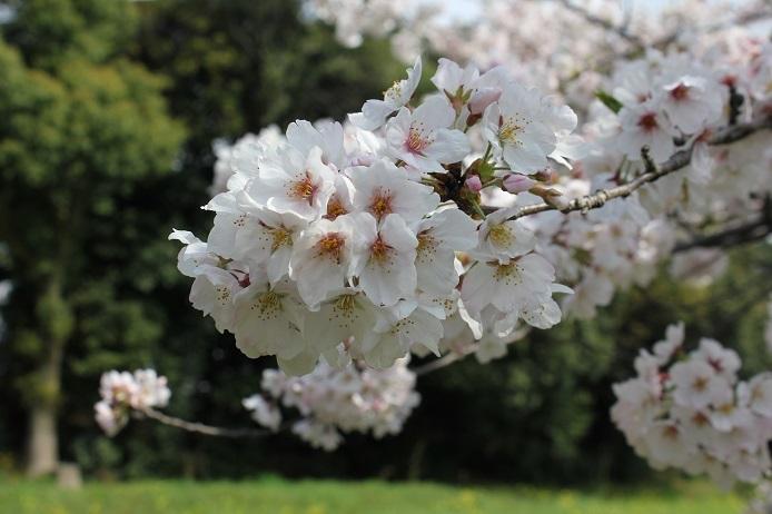 2017.4 桜10