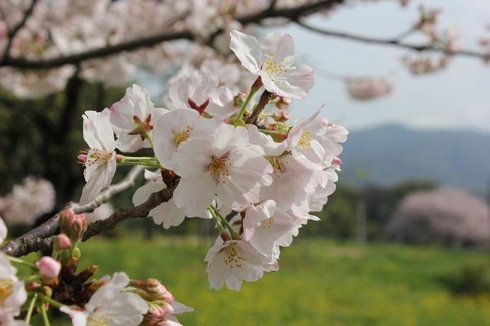 2017.4 桜8