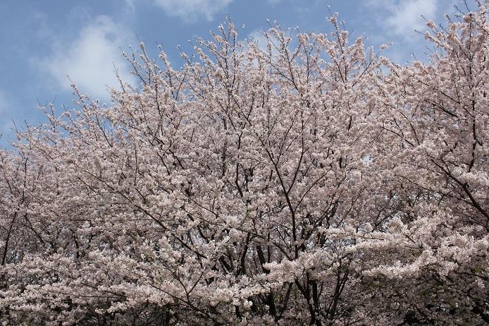 2017.4 桜7