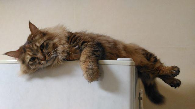 冷蔵庫の上のネコ