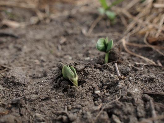 枝豆の発芽