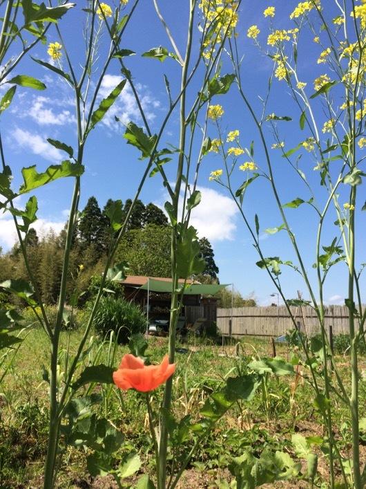 房総フィールド 菜の花と小屋