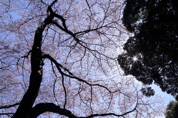 サクラんぽ 04/04/2017