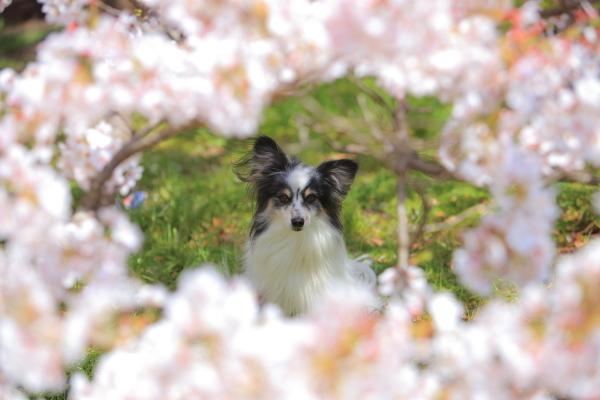 11才の記念に、、、04/13/2017 昭和記念公園