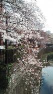 20170402_桜