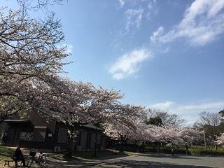 港南台北公園桜1017