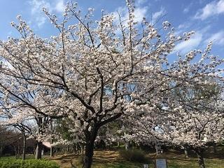 港南台北公園の桜2017