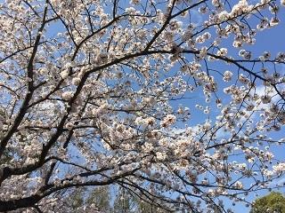 港南台北公園・桜・2017