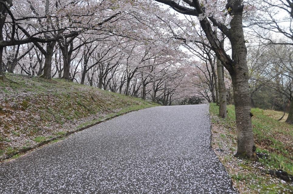 harisakura2.jpg