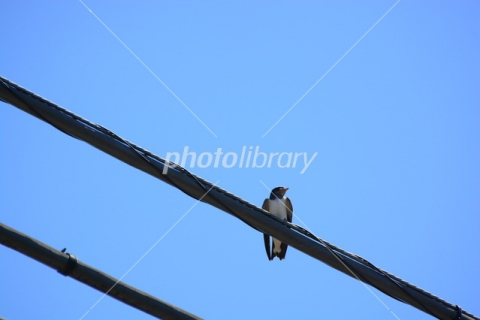 4965075 電線の燕