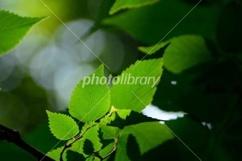 4965070 欅の新緑
