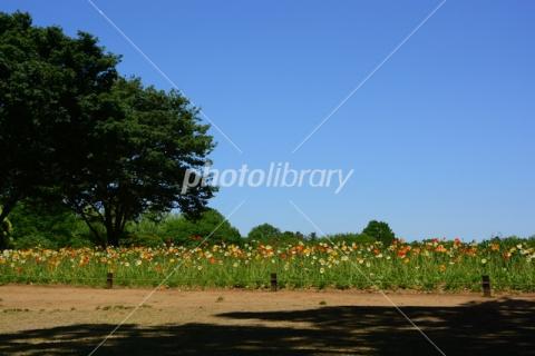4946230ポピーの花畑