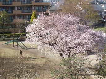 4/7 裏の公園の桜 満開