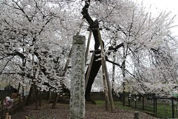 4/8 東光寺 石戸蒲桜
