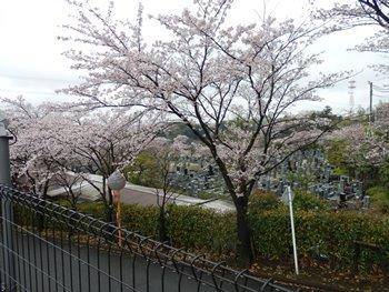 4/9 隣の墓地の桜 いずみ浄苑
