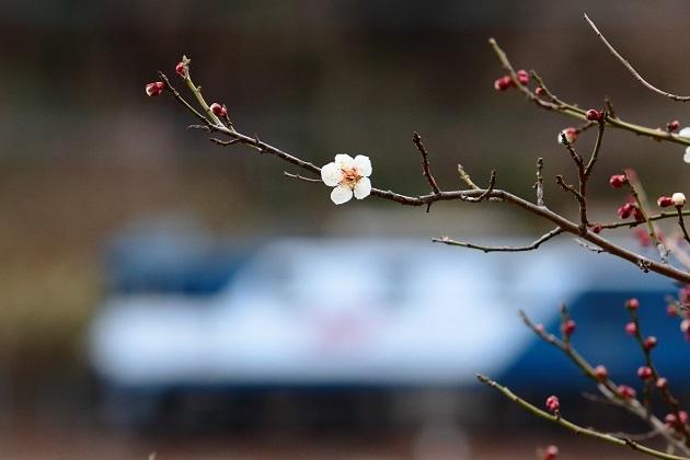 ポッと咲く梅一輪