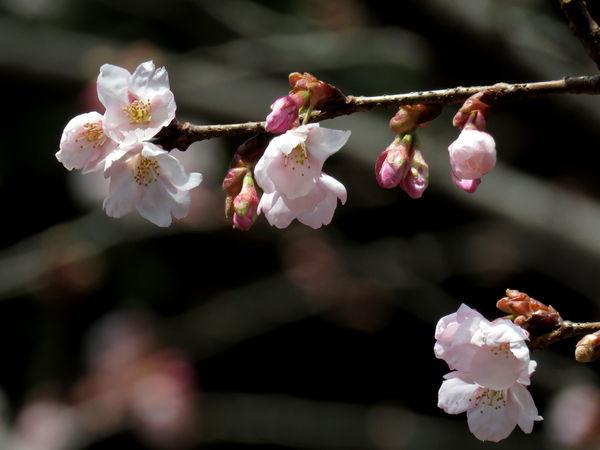 桜(蜂須賀桜)20170222-2-a