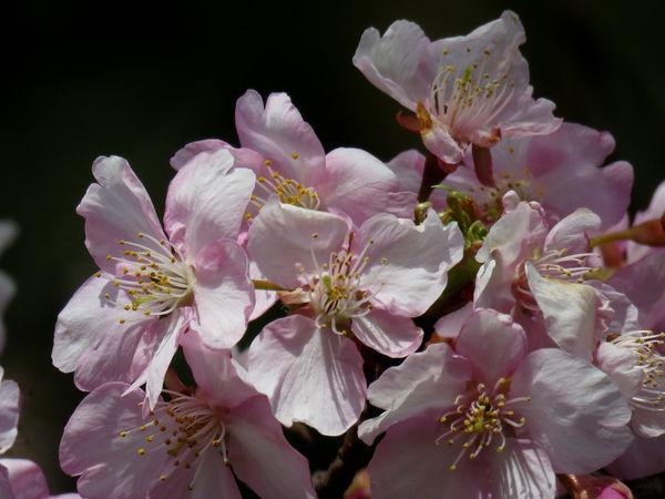 桜(河津桜)20170222-4-a