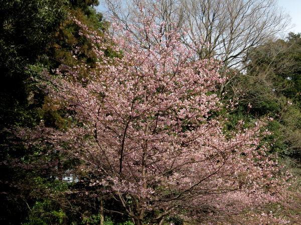桜(河津桜)20170222-1-a
