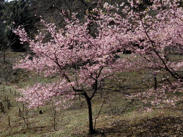 桜(河津桜)20170228-1-a