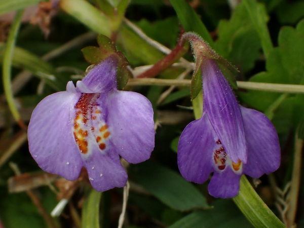 紫鷺苔20170426-3-a